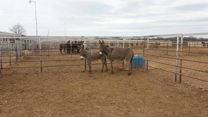 pauls-valley-donkeys-2