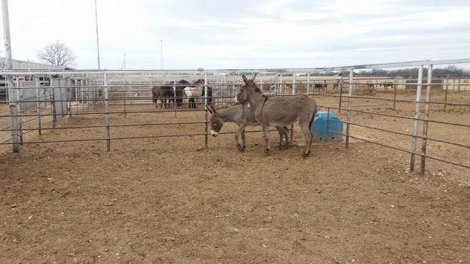 pauls-valley-donkeys